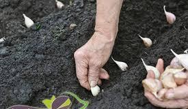 پاورپوینت عملیات كاشت در زراعت عمومی